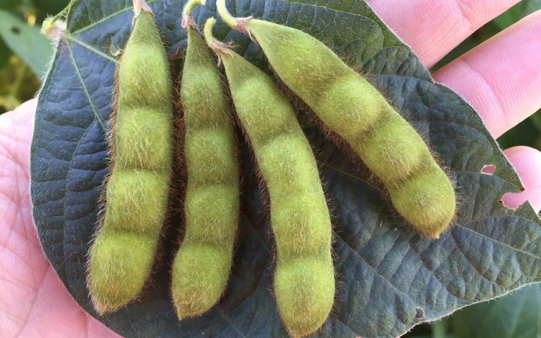 ¿Salto en la productividad? Universidad pública desarrolla cultivar de soja con 4 porotos por vaina