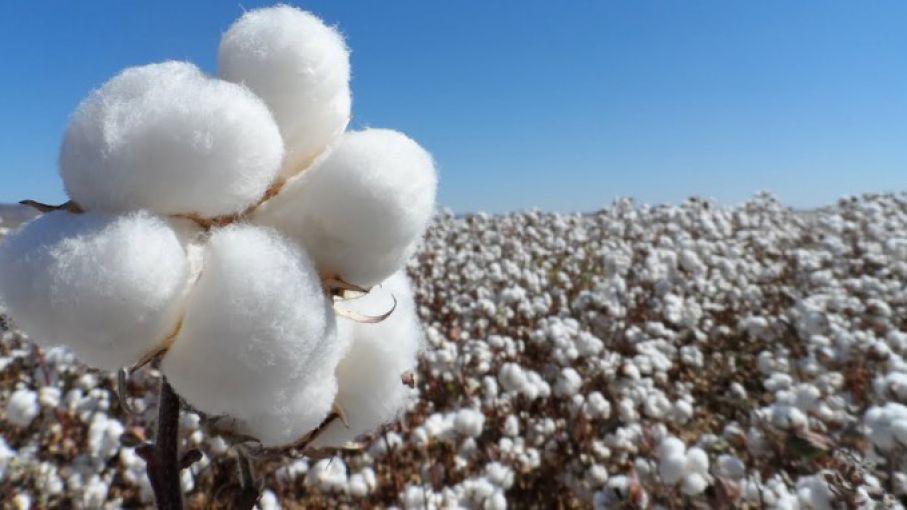 Analizan liberación de algodón resistente a nuevos herbicidas