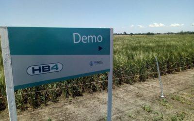 La pulseada por el trigo HB4: avanza su desregulación en Brasil