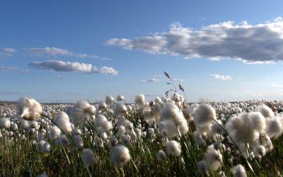 Con nuevas variedades la producción de algodón podría superar el millón de toneladas